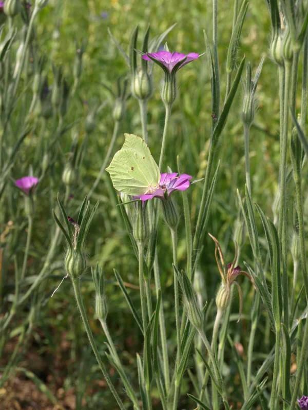 Die Kornrade lockt schon die Schmetterlinge an.