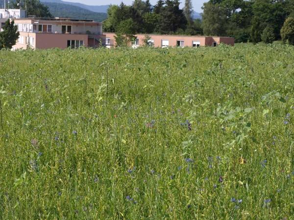 Natternkopf und Borretsch bilden einen zarten blauen Teppich vor den bereits deutlich höheren Stängeln der meist noch geschlossenen Sonnenblumen.