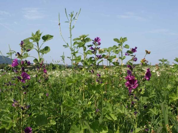 Die einjährigen Arten Quirlmalve, Buchzweizen und weißer Steinklee sowie die Knospen der Sonnenblumen sind gut zu erkennen