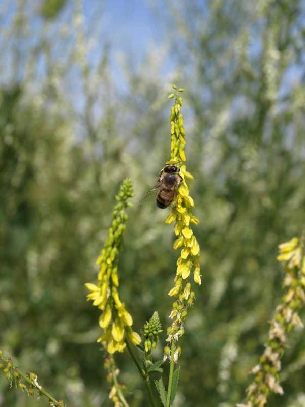 Über den Steinklee freuen sich vor allem die Honigbienen.