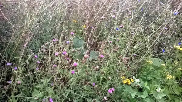 Die Artenzusammensetzung scheint jedoch recht ähnlich zu sein, im Bild die schwarze Flockenblume, der Rainfarn und die Wegwarte, bereits etwas verholzt im Hintergrund der weiße und gelbe Steinklee.
