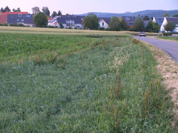 Ackerrandstreifen mit Biogas I Mischung – und Sauerampfer